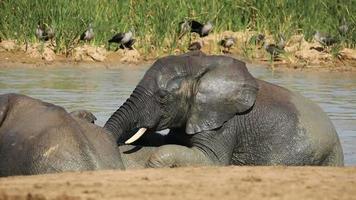 elefantes africanos en el agua video