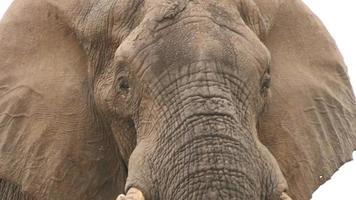 Toro elefante con orejas extendidas mirando agresivamente hacia la cámara video