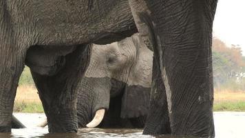 ângulo incomum de elefante nadando e emoldurado por pernas de outro elefante