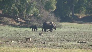 elefantes en la naturaleza 6 video