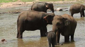 elefanti ad annaffiare nel fiume