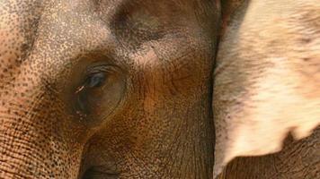 occhio e volto di elefante asiatico