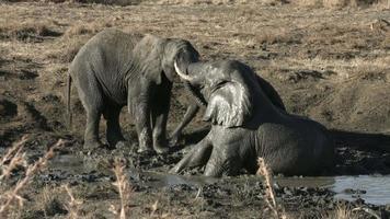 elefantes africanos em uma briga