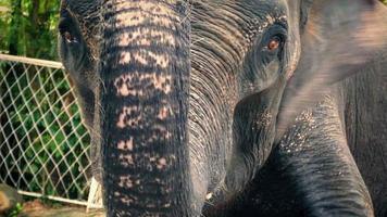 Elefant im Zoo angekettet