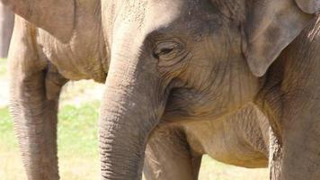 gran manada de elefantes asiáticos (elephas maximus)