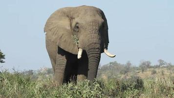 elefante agitando sus orejas mientras come. video