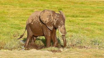 elefante tomando banho de lama no parque de amboseli, quênia video