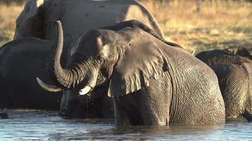 Toro elefante con trompa levantada nadando en el río en el delta del Okavango