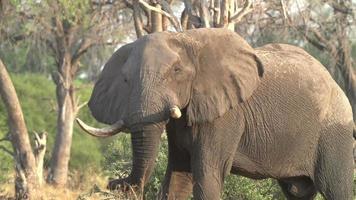 Cámara lenta de elefante moviendo la cabeza, Botswana