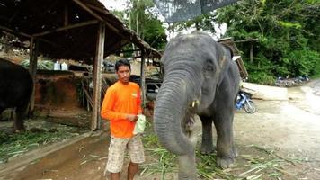 Elefante comiendo en un momento lúdico, Phuket, Tailandia video