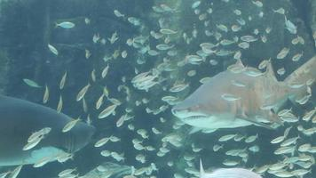 requin dent en lambeaux