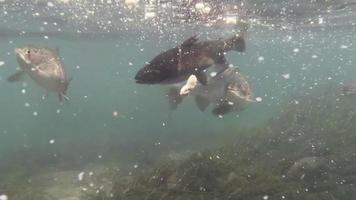 Rainbow Trout Feeding video