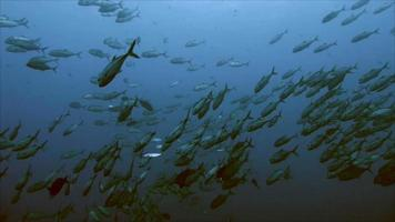 Schulung von Big Eye Jack Fish, Trevally video
