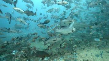 tubarões video