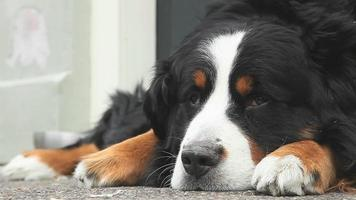 st. bernard hond