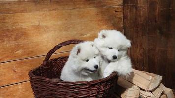 chien chiots samoyède