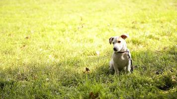 Purebred dogs, Jack Russell, Breton and German Shepherd in park video