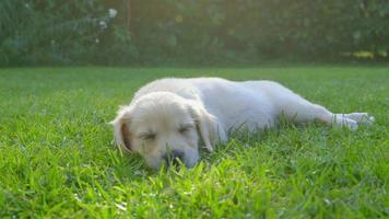 süßer Welpe im Garten - schlafend video