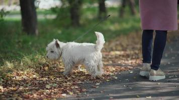 donna con cane a piedi nel parco in autunno. West Highland White Terrier video