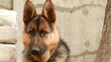 cane di razza pastore tedesco ritratto video