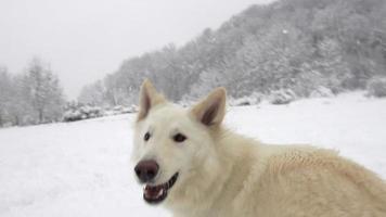 spektakuläre Zeitlupe des weißen Schäferhundes, der hohen Neuschnee springt