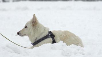 Zeitlupe: Weißer Schweizer Schäferhund sitzt im Hochschnee