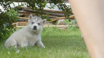 Husky Welpen spielen auf einem Gras