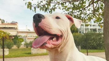 glückliches dogo argentino Hundeporträt in einem Park.