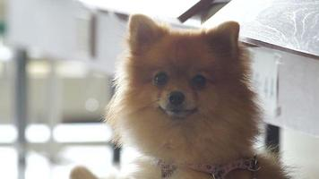 simpatico cane pomeranian gira la testa