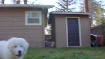 cachorro blanco y esponjoso sigue la cámara