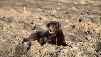 Brown labrador lying on the ground video