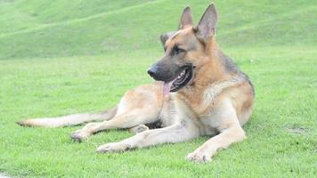 um cachorro alsaciano sentado na grama