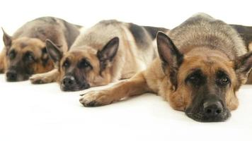 Group of purebred alsatian dogs, pets video