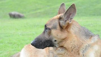 un cane alsaziano seduto sull'erba
