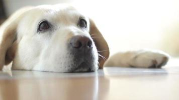 il bellissimo labrador si sente solo