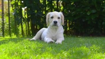 cucciolo felice in giardino - guardandosi intorno - abbaiando video