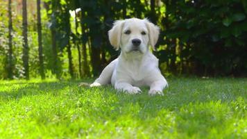 cucciolo felice in giardino - guardandosi intorno - abbaiando