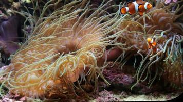 clown anemonfish - nemo video