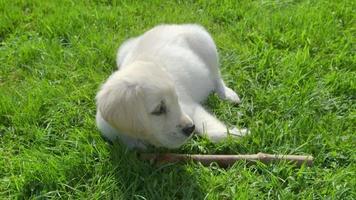 cucciolo carino sta giocando