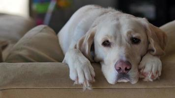 Yellow Lab valt in slaap op de rug van de bank