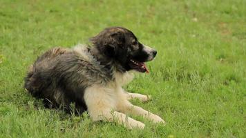cane pastorella posa sull'erba video
