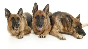 Group of purebred alsatian dogs on white wall, pets video