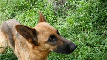 Deutscher Schäferhund essen Kirsche Zeitlupe