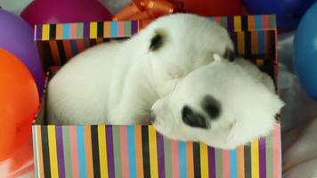 deux chiots dans une boîte cadeau