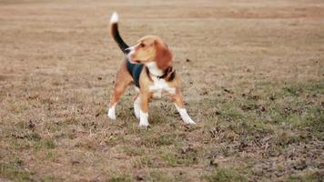 bellender Hund im Feld