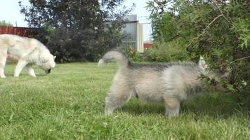 cachorro husky mastica un arbusto y va a la cámara