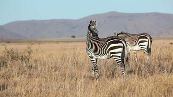 Grazing Cape Mountain Zebras video