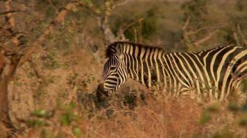 Zebra gehen
