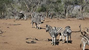 Plains Zebras video