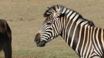 Plains Zebra video